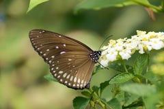 Motyli obsiadanie na białym kwitnienie kwiacie Fotografia Royalty Free