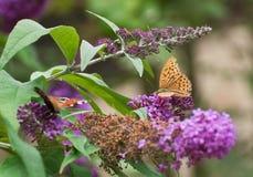Motyli obsiadanie na bzie fotografia royalty free