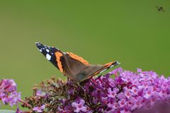 Motyli obsiadanie na bzie zdjęcia stock