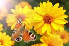 Motyli obsiadanie na kwiacie obrazy stock