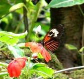 Motyli obsiadanie na kwiacie Obraz Royalty Free