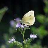 Motyli obsiadanie na popielatej gałązce Obrazy Royalty Free