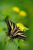 Motyli obsiadanie na zielonym urlopie Motyli Papilio pilumnus w natury zieleni lasowym siedlisku, południe usa, Arizona ładny Obraz Stock