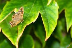 Motyli obsiadanie na zielonym urlopie Pi?kny motyl Insekt w naturalnym siedlisku obrazy royalty free