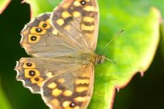 Motyli obsiadanie na zielonym urlopie Pi?kny motyl Insekt w naturalnym siedlisku fotografia royalty free