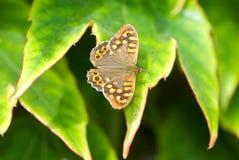 Motyli obsiadanie na zielonym urlopie Pi?kny motyl Insekt w naturalnym siedlisku obraz stock