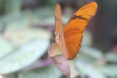 Motyli obszycie Naprzód zdjęcie royalty free