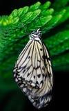 Motyli obwieszenie Obrazy Royalty Free