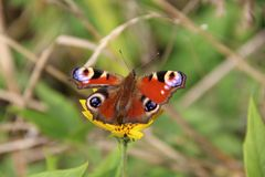 Motyli Paisley na żółtym kwiacie Zdjęcie Royalty Free