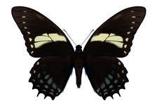 Motyli Papilio aristeus Zdjęcia Stock