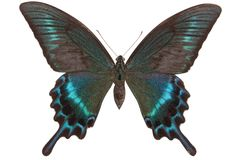 Motyli Papilio maackii Fotografia Royalty Free