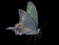 Motyli Papilio maackii 27 zdjęcie royalty free