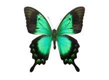 Motyli Papilio Palinurus Obraz Stock