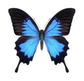 Motyli Papilio Ulysses Zdjęcie Stock
