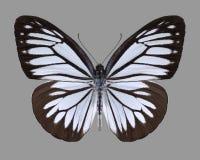 Motyli Pareronia anais Zdjęcie Stock
