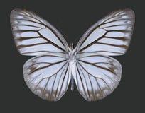 Motyli Pareronia anais Zdjęcia Stock