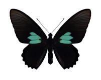 Motyli Parides sesostris Fotografia Stock