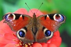 Motyli paw w naturze Zdjęcia Royalty Free