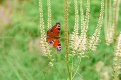 Motyli Pawi oko na kwiacie w górę zdjęcia stock