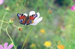 Motyli pawi oko na kwiatu cosme obrazy stock