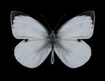 Motyli Pieris brassicae męscy Zdjęcie Stock