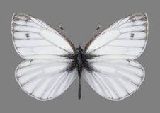 Motyli Pieris bryoniae męscy Obraz Royalty Free