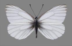Motyli Pieris euorientis męscy Obraz Royalty Free