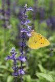 Motyli pobyt na purpurowych kwiatach fotografia stock