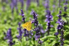 Motyli pobyt na purpurowych kwiatach zdjęcie stock