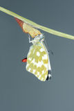 Motyli pojawienie się Zdjęcie Royalty Free