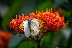 Motyli pomarańczowy i biały Fotografia Royalty Free