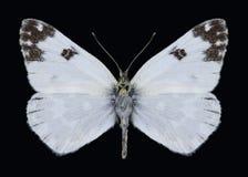 Motyli Pontia edusa Fotografia Royalty Free