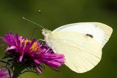 Motyli Pontia edusa zbliżenia obsiadanie na kwiat menchii asterze Fotografia Royalty Free
