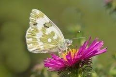 Motyli Pontia edusa zbliżenia obsiadanie na kwiat menchii asterze Zdjęcie Royalty Free