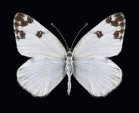Motyli Pontia glauconome Zdjęcie Royalty Free