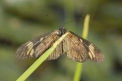 Motyli portret na liściu na zielonego tła makro- zakończenia up szczególe obraz stock