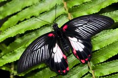 motyli pospolity swallowtail fotografia royalty free