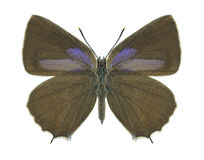 Motyli Quercusia quercus (kobieta) Obraz Royalty Free