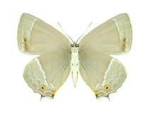 Motyli Quercusia quercus (kobieta spód) () Obrazy Stock