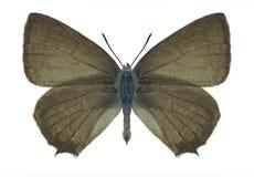 Motyli Quercusia quercus (samiec) Fotografia Stock