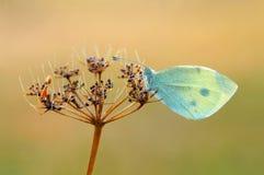 motyli ranek Obrazy Stock