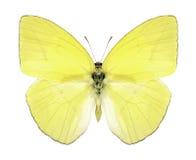 Motyli Rhabdodryas szablonowy szablonowy Obraz Stock