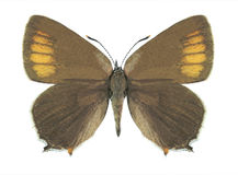Motyli Satyrium ilicis (kobieta) Obrazy Stock