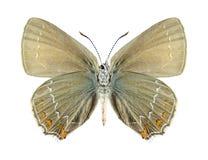 Motyli Satyrium ilicis (kobieta spód) () Fotografia Stock