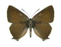 Motyli Satyrium spini (samiec) Obrazy Royalty Free