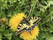 Motyli Schwalbenschwanz Schmetterling lub zdjęcie royalty free