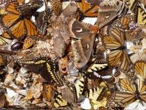 Motyli skrzydła Zdjęcie Royalty Free