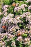 Motyli Smal Tortoiseshell na oregano Zdjęcia Stock