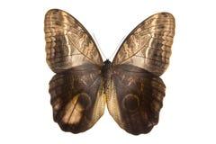 motyli sowy strony wierzchołek Zdjęcie Stock