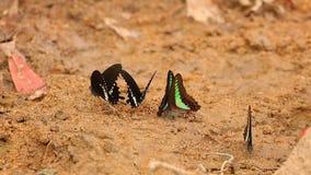 Motyli Spicebush Swallowtail HD I Pospolity modrak zdjęcie wideo